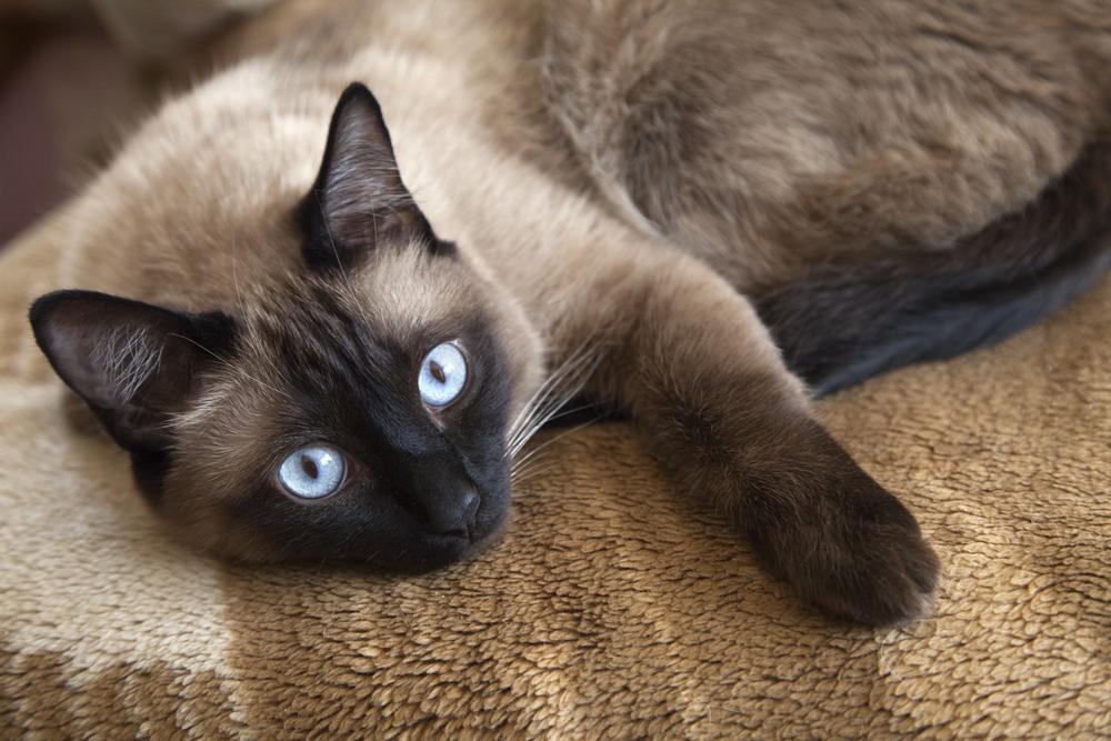 ¿Cuáles son las mejores razas de gatos domésticos?