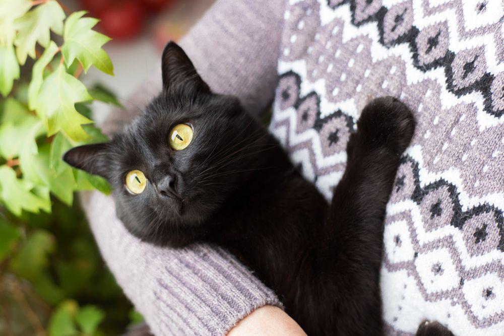Te mostramos las razas de gatos carinosos