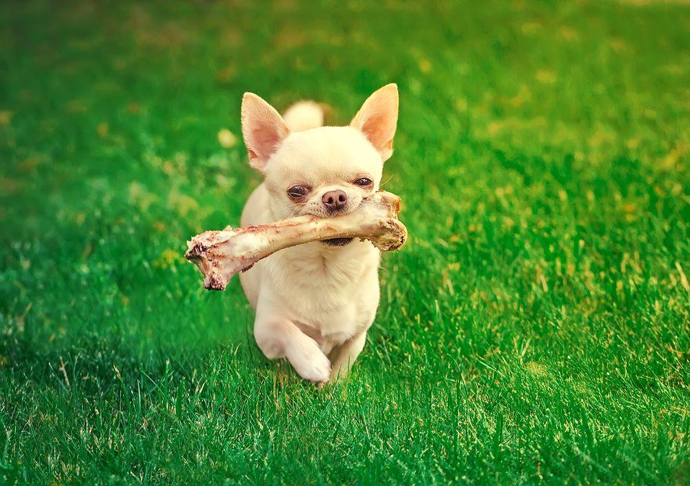 ¿Es-bueno-que-los-perros-coman-huesos