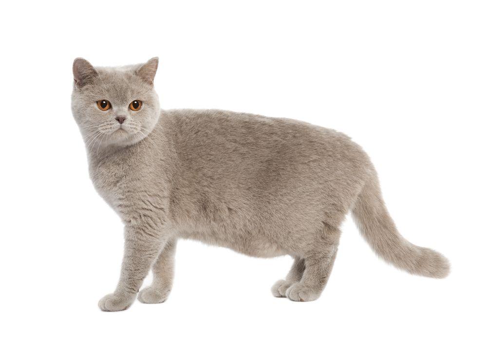 Lo-que-debes-saber-sobre-la-bolsa-primordial-de-los-gatos